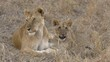 Lioness with a young lion in Masai Mara