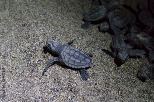 Valokuva  Young sea turtles Caretta Caretta (Loggerhead), at night leave, exit from the nest