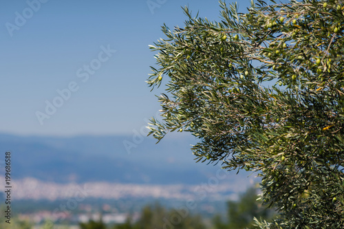 Deurstickers Olijfboom Olive tree on the background of the Greek city of Vergina