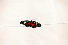 Doris Longwing Butterfly (Lapa...