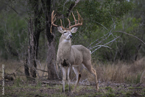 Tuinposter Hert White-tailed Deer - Large Buck