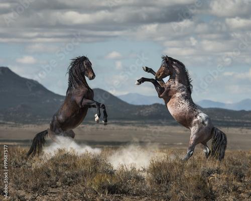 Wild Horse Fight