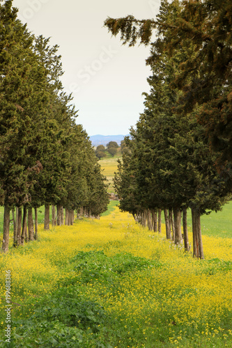 Deurstickers Wijngaard Amazing Tree Tunnel with the ground covered by yellow flowers. Field in spring.