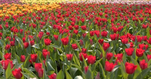 Deurstickers Tulp Tulip flower farm