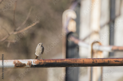 Photo  Black redstart Phoenicurus ochruros on an handrail