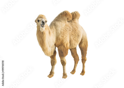 Side view of Bactrian two-humped camel isolated on white background. Smiling animal