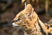 Serval (Leptailurus Serval), A...