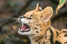Serval (Leptailurus Serval), A Wild Cat Native To Africa