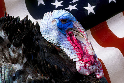 wild male turkey bird with iridescent skin and american flag used as background - Meleagris gallopavo, Phasianidae, Galliformes