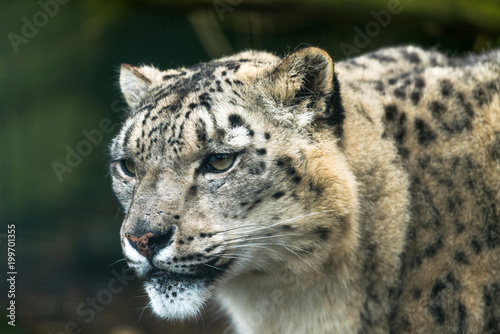 Foto op Canvas Luipaard Snow leopard (Panthera uncia), a large cat native to the mountain ranges of Central and South Asia.