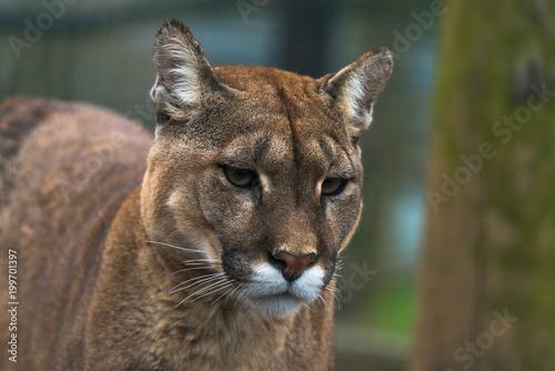 Fototapeta premium Puma (Puma concolor), duży kot występujący głównie w górach od południowej Kanady do końca Ameryki Południowej. Znany również jako kuguar, lew górski, pantera lub catamount