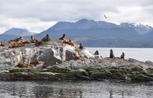Colonie De Lions De Mer Du Canal De Beagle En Argentine