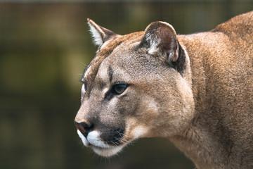 Puma (Puma concolor), duży kot występujący głównie w górach od południowej Kanady po czubek Ameryki Południowej. Znany również jako cougar, lew górski, pantera lub catamount