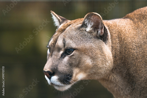 Tuinposter Puma Puma (Puma concolor), a large Cat mainly found in the mountains from southern Canada to the tip of South America. Also known as cougar, mountain lion, panther, or catamount