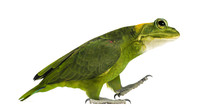 Chimera With Yellow-naped Parrot With Head Of Frog, Walking Against White Background