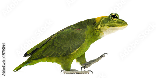 Photo chimera with Yellow-naped parrot with head of frog, walking against white backgr