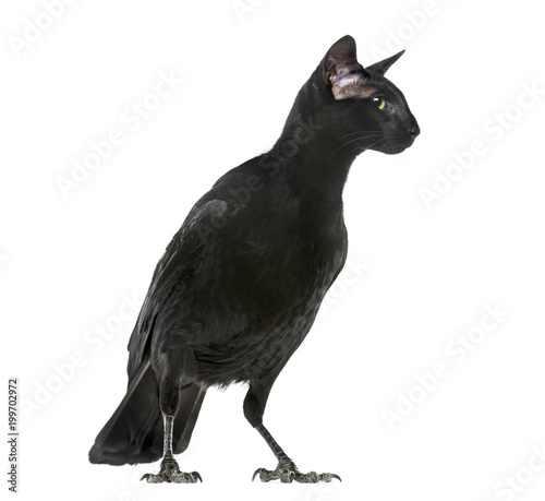 chimera with Carrion Crowand a head of Oriental Shorthair cat on white backgroun Fototapete