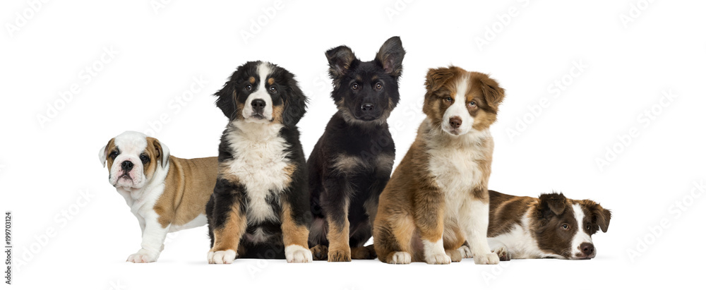 Fototapety, obrazy: Group of puppies sitting in front of a white background