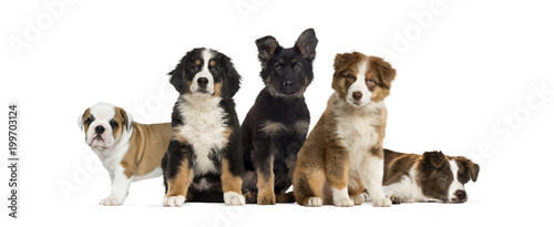 Fotografie, Tablou  Group of puppies sitting in front of a white background