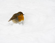 Robin Bird Sitting In The Snow