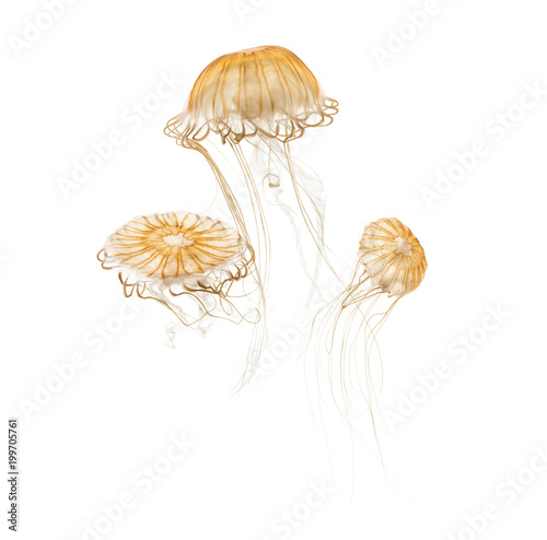 Japanese sea nettles, Chrysaora pacifica, Jellyfish against whit