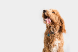 Fototapeta Zwierzęta - Golden Doodle Dog Isolated