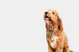 Golden Doodle Dog Isolated
