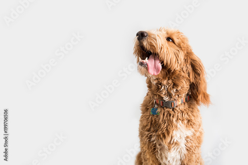 In de dag Hond Golden Doodle Dog Isolated