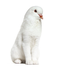 Chimera With A White Kitten And King Pigeon Head Against White Background