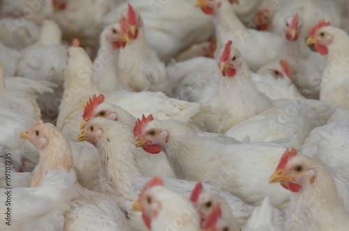 Foto op Canvas Kip Chicken in bar. Poultry