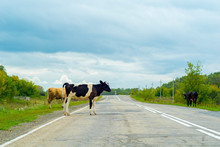 Cows Crossing The Road, Danger To Cars