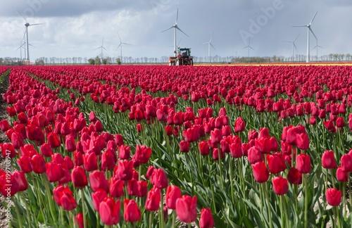 Plakat Pole tulipanów.