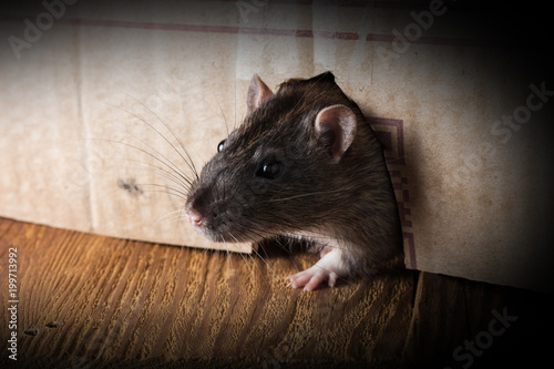 gray rat peeking out