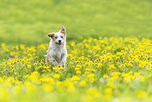 Cute Terrier Dog Running On Da...