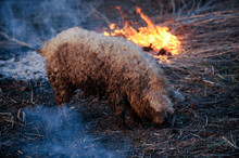 White Hairy Pig Boar Hungarian...