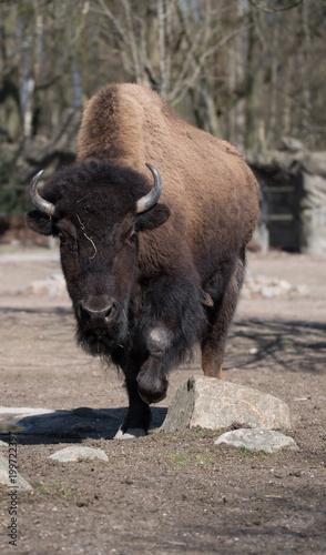 Foto op Plexiglas Bison Bison, Wisent