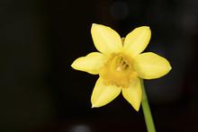 Mini Daffodil, Full Head On St...