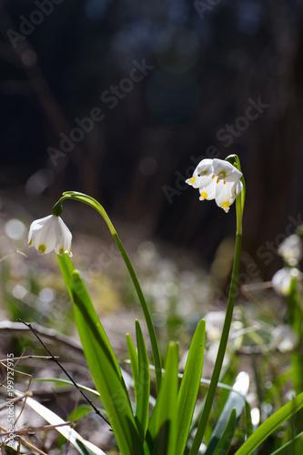 Fototapeta Zwei Märzenbecherblüten_Leucojum vernum_spring snowflake_Nivéole de printemps obraz na płótnie