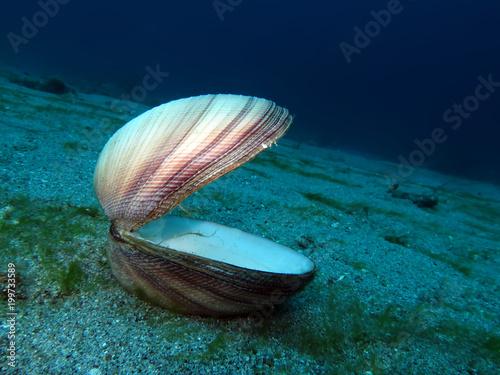 Prächtige Venusmuschel Antigona magnifica
