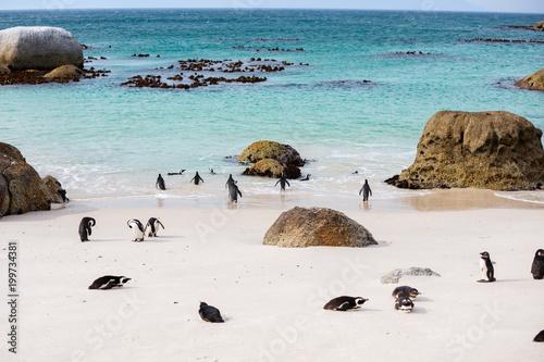 Fotobehang Leeuw African Penguins