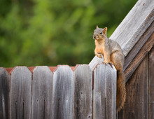 Cute Eastern Fox Squirrel (Sci...