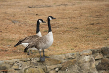 Two Canada Geese Standing On T...