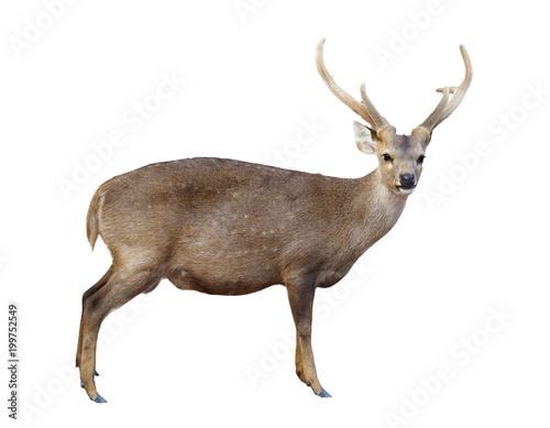 Poster Cerf male hog deer isolated