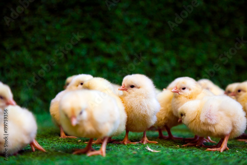 Foto op Canvas Kip Close-up of a lot of small yellow chicks or Gallus gallus with black eyes on the artificial grass in the room sits