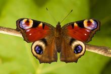 Peacock Butterfly Aglais Io, Early Spring
