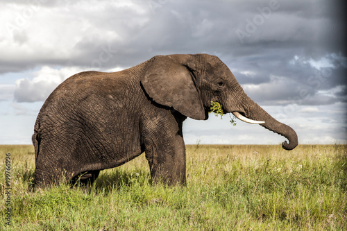 Foto op Canvas Olifant Elephant bull eating on the plains of Serengeti National Park in Tanzania