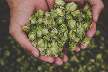 Green Hops For Beer. Man Holdi...