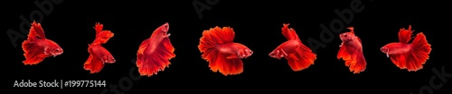 Fototapeta Group of beautiful small siam betta fish with black isolate background obraz