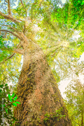 Foto op Canvas Zuid Afrika Bottom view of Big Tree with sun rays, a giant Outeniqua Yellow wood, 1000 years old in Tsitsikamma Forest National Park close to Storms River, Garden Route, Eastern Cape, South Africa. Vertical shot.