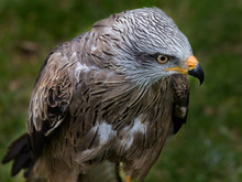 Black Kite (Milvus Migrans) Is A Medium-sized Bird Of Prey In The Family Accipitridae.6
